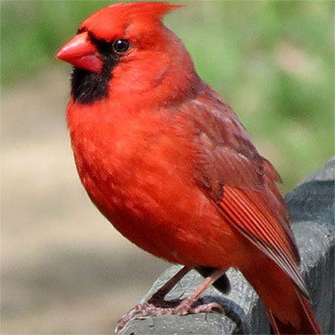 The Cardinal is the State Bird of Ohio