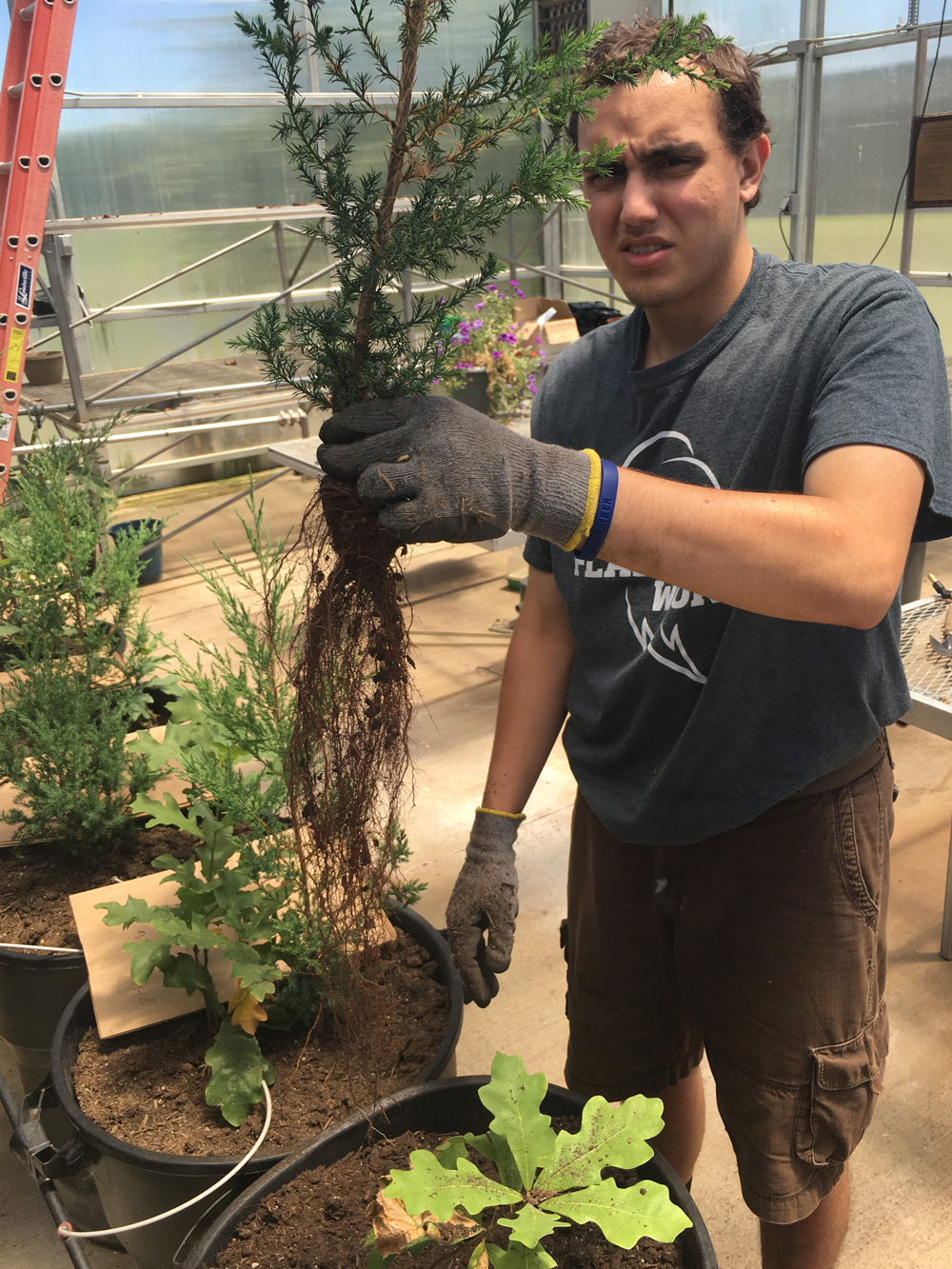 Jonathan Nieves, an undergraduate student holds an Eastern Red Cedar in the Kent State University at Geauga greenhouse. (Photo by David Ward)