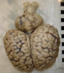 rhino brain 1