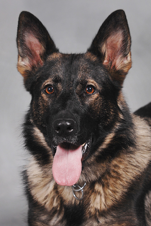 Kent State Police Dog Coco