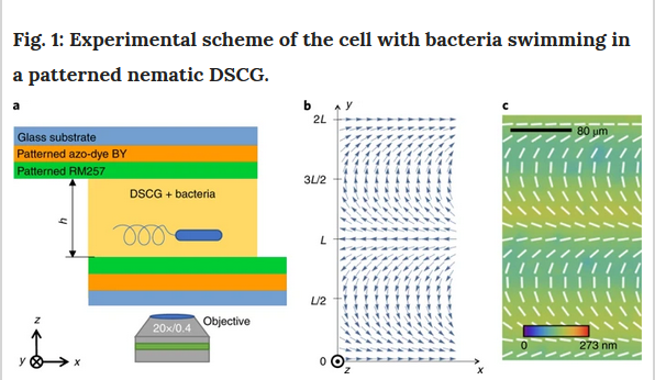 experimental scheme of the cell with bacteria swimming in a patterned nematic DSCG