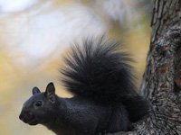 Black squirrel on a tree background