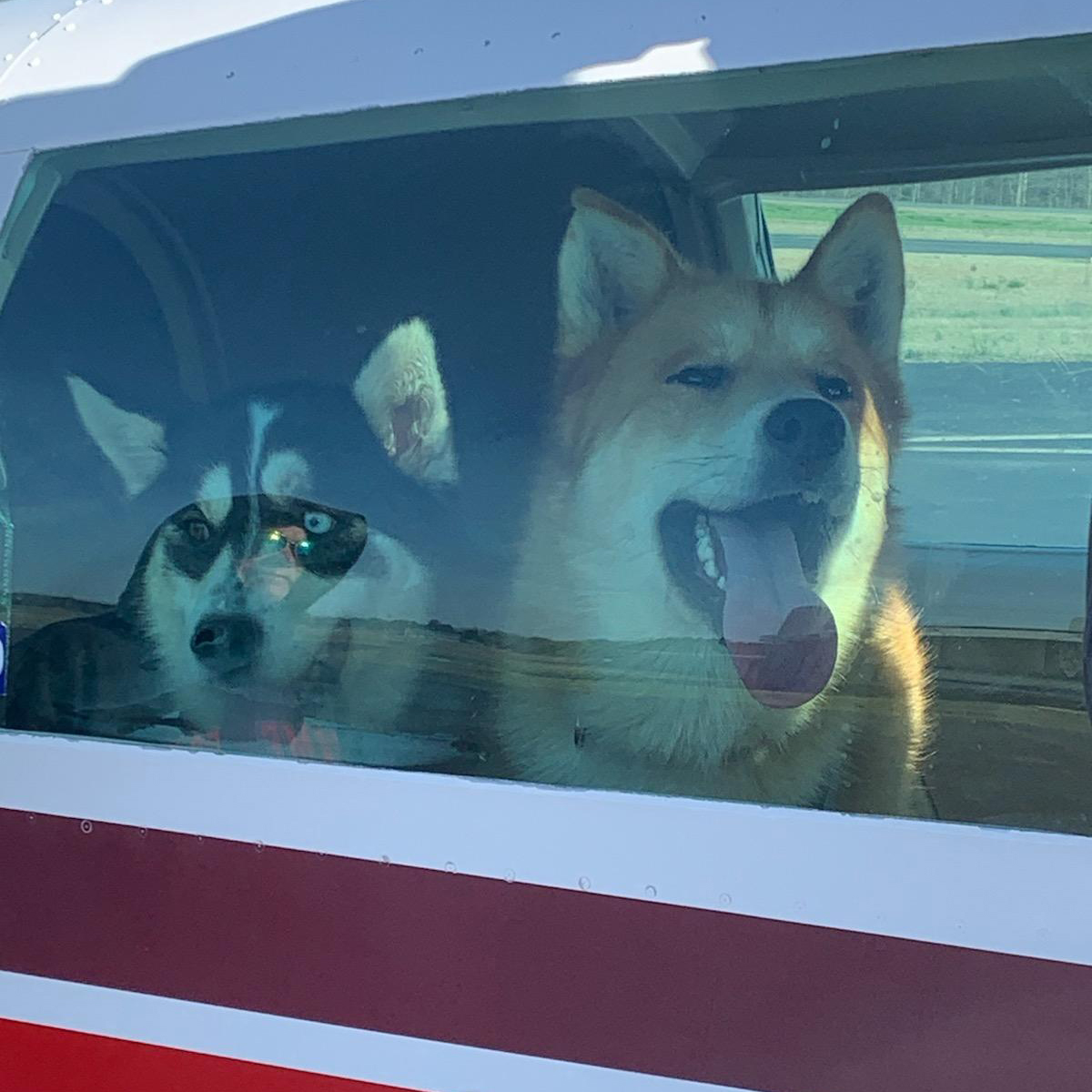 dogs looking through and licking airplane window