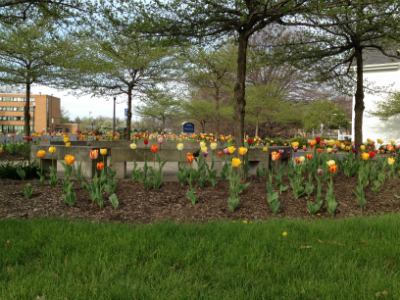Colorful Tulips under the trees on campus