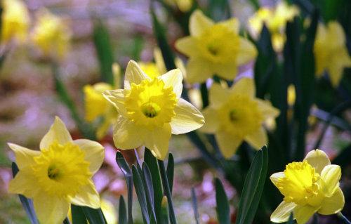Daffodils surround the memorial