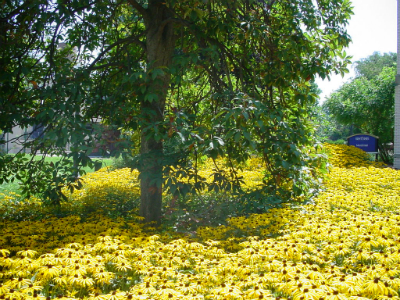 Tree in a field of yellow flowers