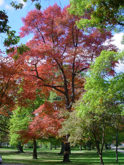 Several beautiful red and green trees on campus