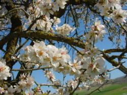Tubish Vat Almond Trees