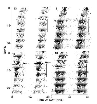 Double potted entrained rhythms of daily locomotor activity of four diurnal marmosets to a 20 second light pulse designated by vertical lines