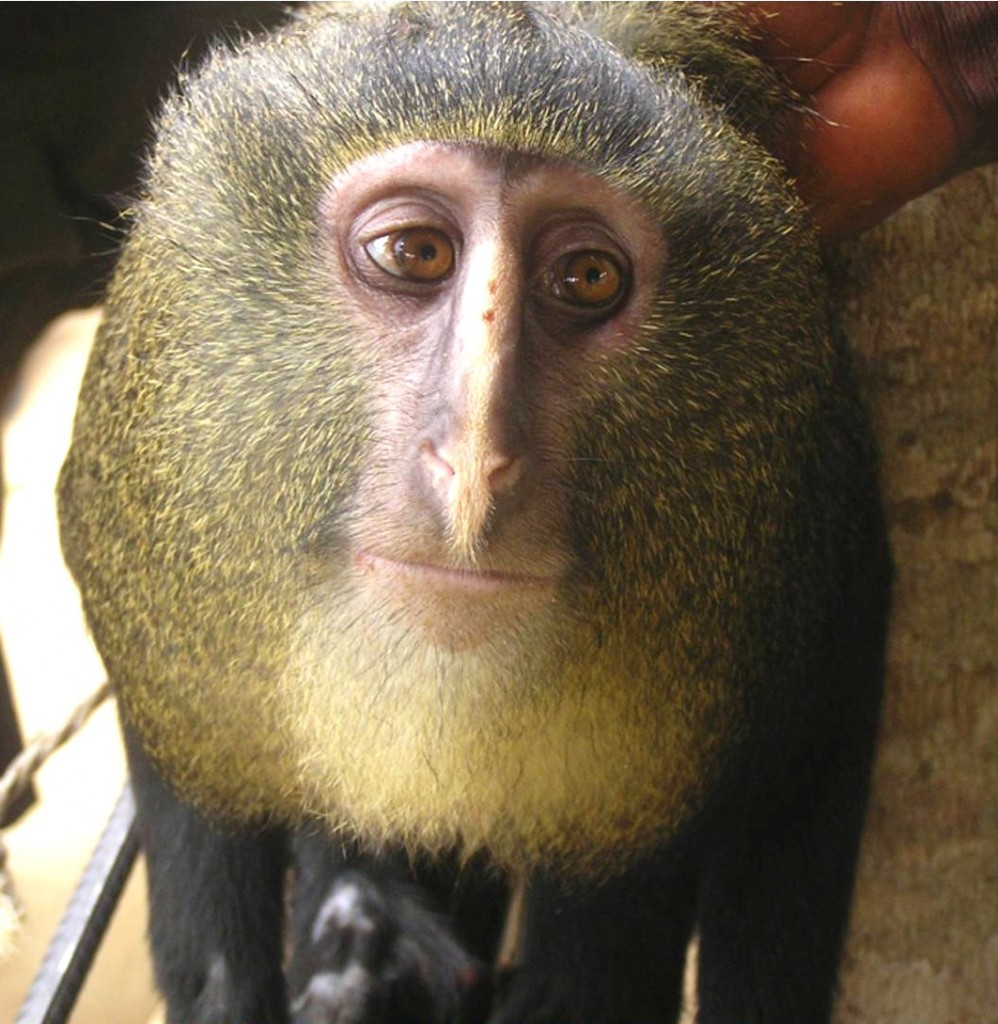 Cercopithecus lomamiensis, discovered in 2012