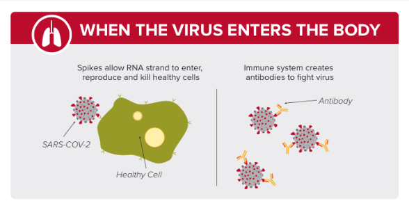 Illustration when the virus enters the body showing the spikes allowing the RNA strand to enter, reproduce and kill healthy cells. Immune system creates antibodies to fight the virus picture of three antibodies attached to the virus.
