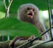 Pygmy marmoset, Tiputini Biodiversity Station, Napo Province, Ecuador.