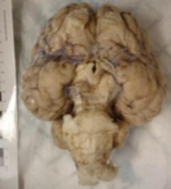 rhino brain 3