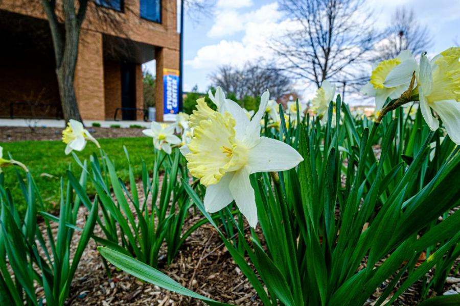 A photo of white and yellow daffodils on Kent Campus