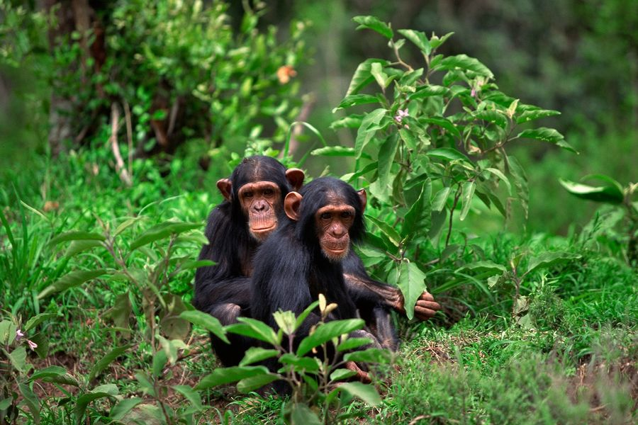 Two chimpanzees are pictured sitting in the grass. A recent study co-authored by researchers at Kent State University looks at the differences of human brains compared to the brains of other primates such as chimpanzees, gorillas and monkeys.