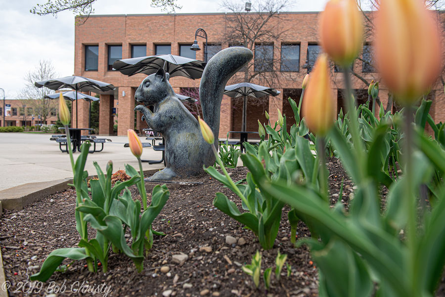 Tulips frame a statue of a black squirrel near the Kent Student Center on Kent Campus