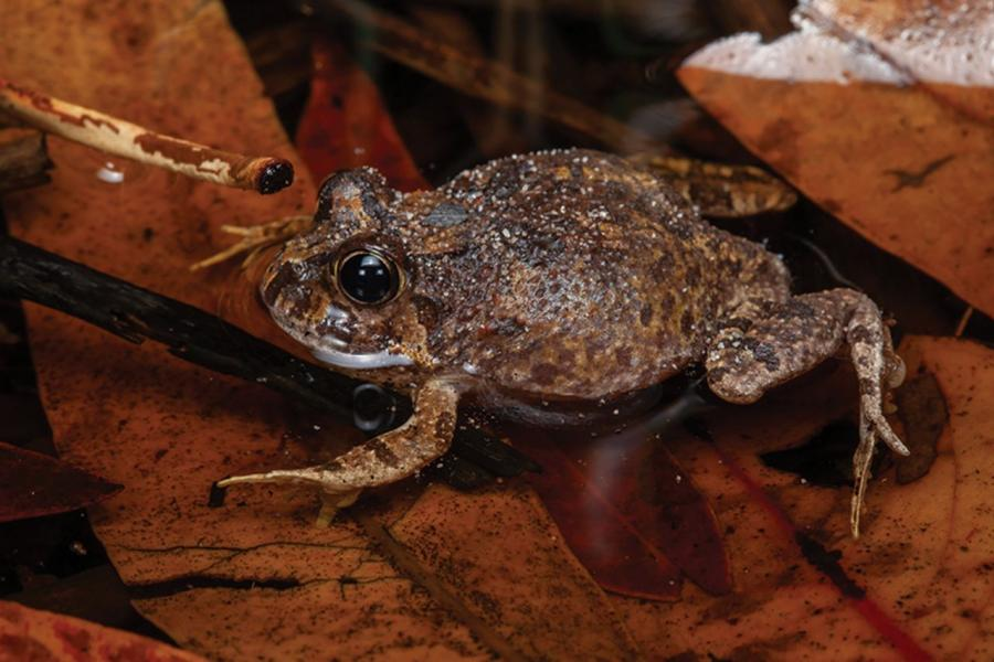 Ornate burrowing frog, Platyplectrum ornatum, photo by Stephen Mahony