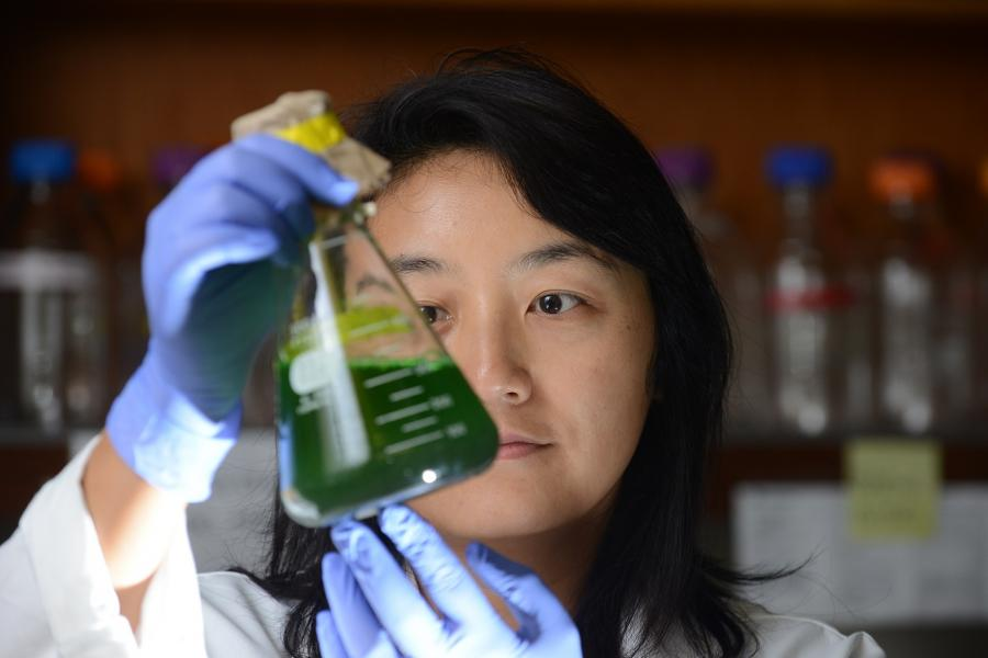 Dr. Mou examines algae growing in the lab