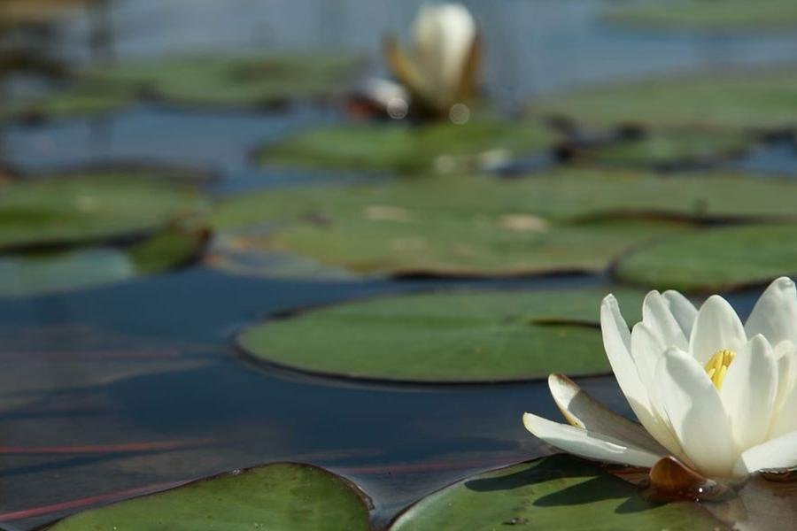 Water lilies floating in the sunshine
