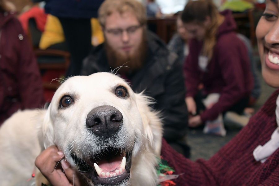 Katie, an English cream golden retriever, enjoys the company of Kent State students as she smiles for the camera during the Stress-Free Zone in the library.