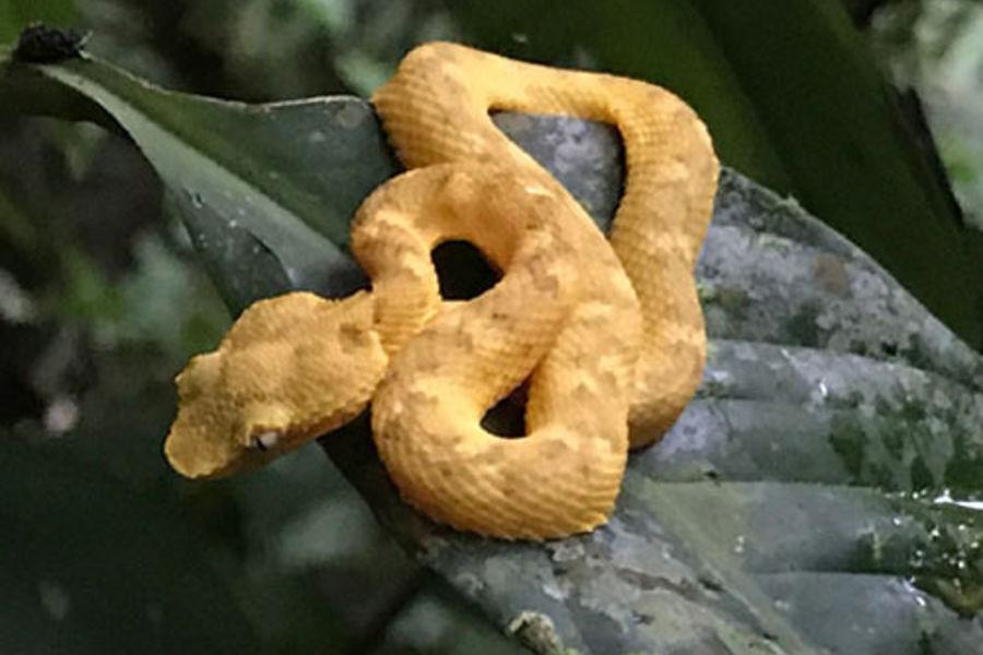 baby eyelash viper