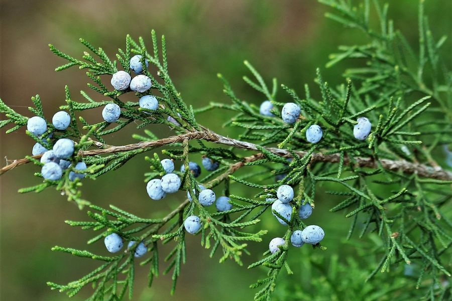 Close up image of an Eastern Red Cedar branch with berries. (Photo by Sheila Brown, publicdomainpictures.net)