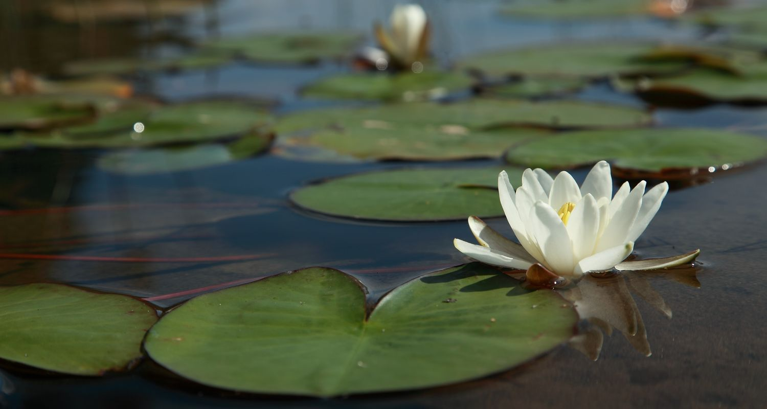 A water lily floats in a lake