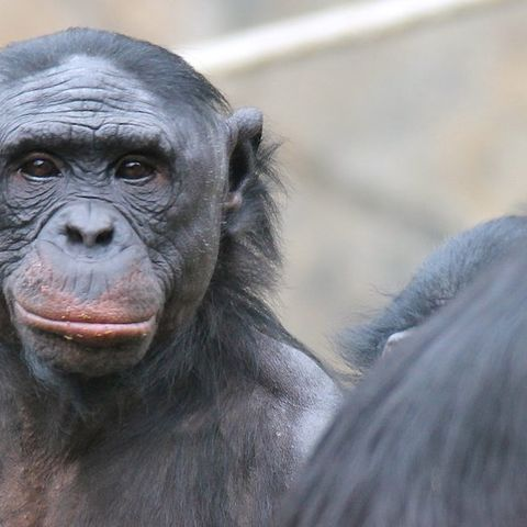 A bonobo stares back at the camera while another walks away