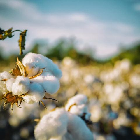 Close up of a cotton plant in a cotton field.