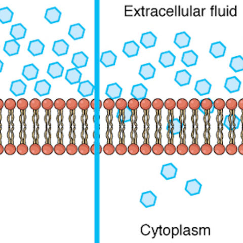Generic image: Diagram of a cell membrane, depicting the lipid bilayer, extracellular fluid, and uncharged molecules in cytoplasm