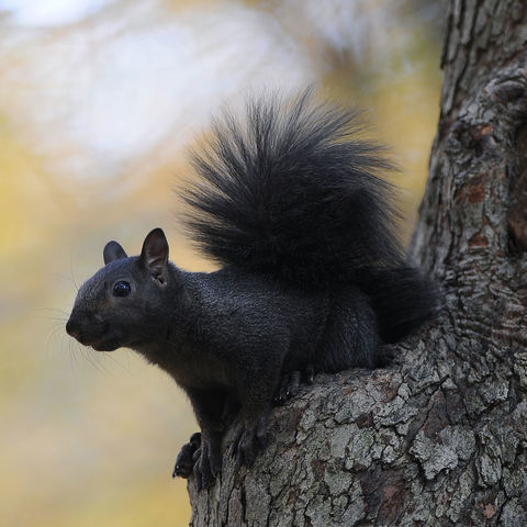 A black squirrel rests on a tree on the Front Campus section of the Kent State University Campus.