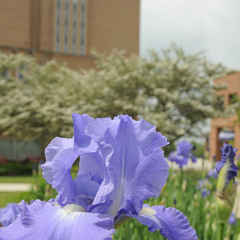 Flowers in full bloom in the Murin Gardens near the Kent State Library.