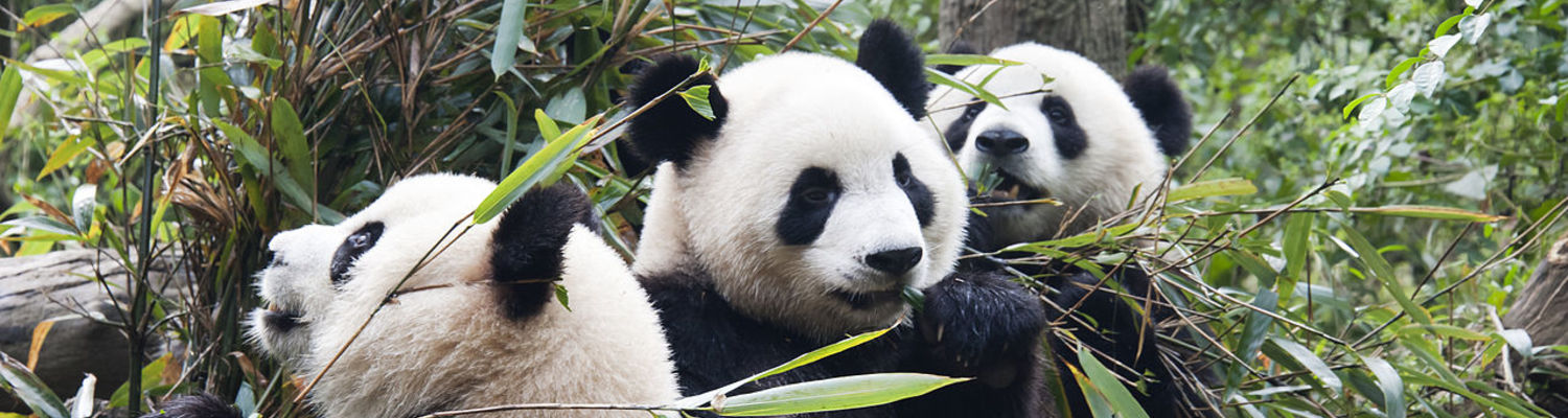 Chengdu is home to Chengdu Panda Base, a nonprofit research and breeding facility for giant pandas. Founded in 1987, it started with six pandas that were rescued from the wild. By 2008, it had 124 panda births.