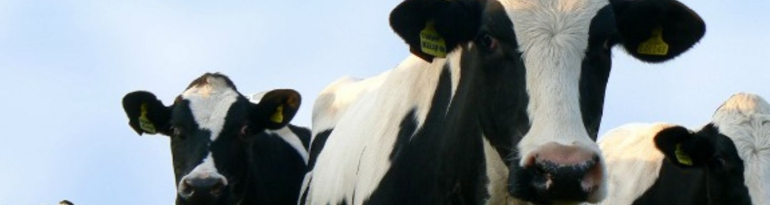Antibiotic Resistance Paper, picture of cows