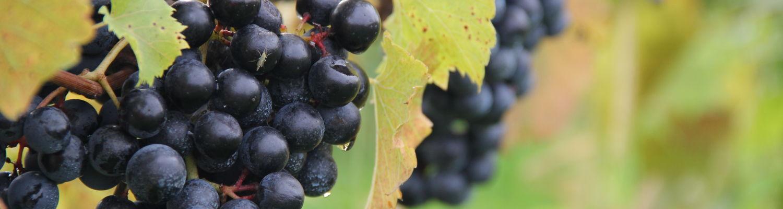Grapes on vine at Debonne Vineyards