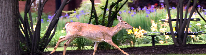 A deer runs through campus