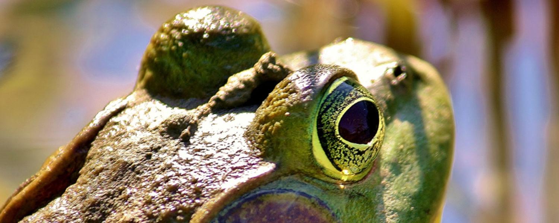 Frog at Herrick Aquatic Ecology Research Facility