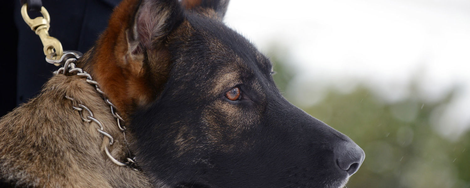 Coco, Kent State's new police dog, is trained in evidence search and recovery, area searches and tracking, but is mainly trained for explosives detection.