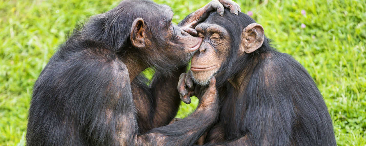 Researchers have found the first signs of Alzheimer's in chimpanzees