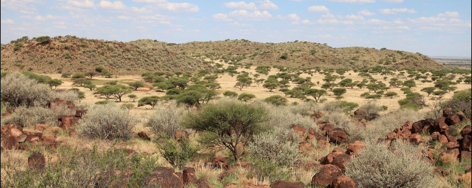 In their new paper, Kent State Biology Professor David Ward and colleagues asked whether this encroachment of woody shrubs into grasslands in South Africa would increase or decrease the amount of carbon stored in the soil under the plants.