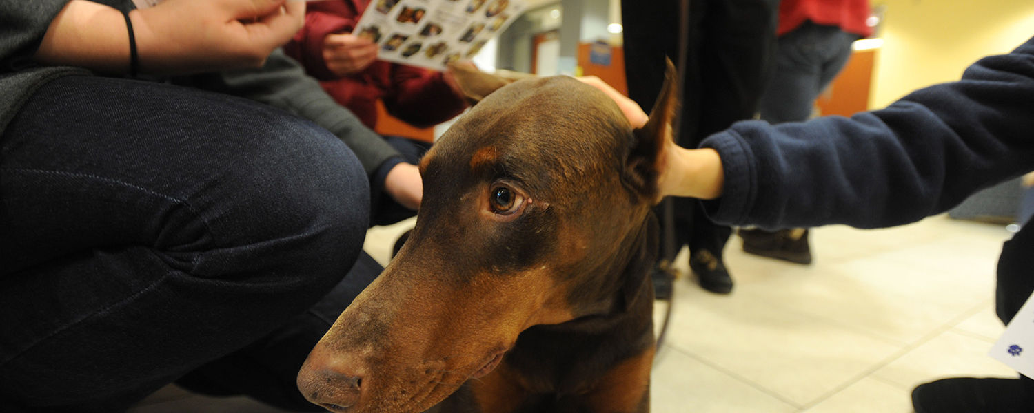 A therapy dog enjoys being petted by a Kent State student during the Stress-Free Zone event in the library.