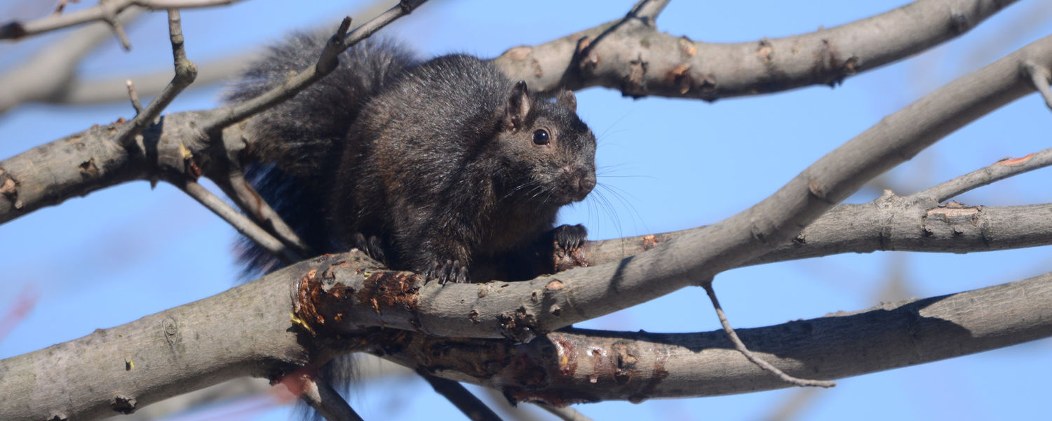 A black squirrel sits on a branch outside Lowry Hall.