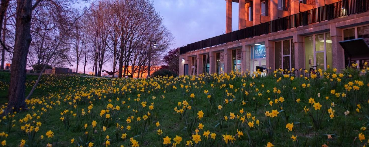 A field full of yellow daffodils next to Taylor Hall on Kent Campus pop against a beautiful sunset.