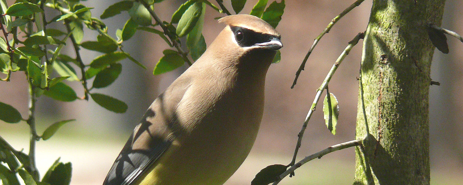 A Cedar waxwing (Bombycilla cedrorum) eats the berries of the Eastern Red Cedar, which furthers the dispersal of the tree species. (Photo by Ken Thomas)