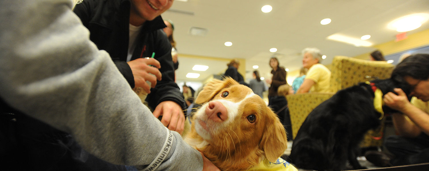 A Great Pyrenees therapy dog gets his nose scratched during the Stress-Free Zone event held in the University Library during finals week.