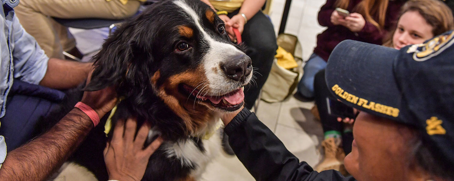Kent State students enjoy a study break by petting a Bernese mountain dog during the Stress-Free Zone in the library.