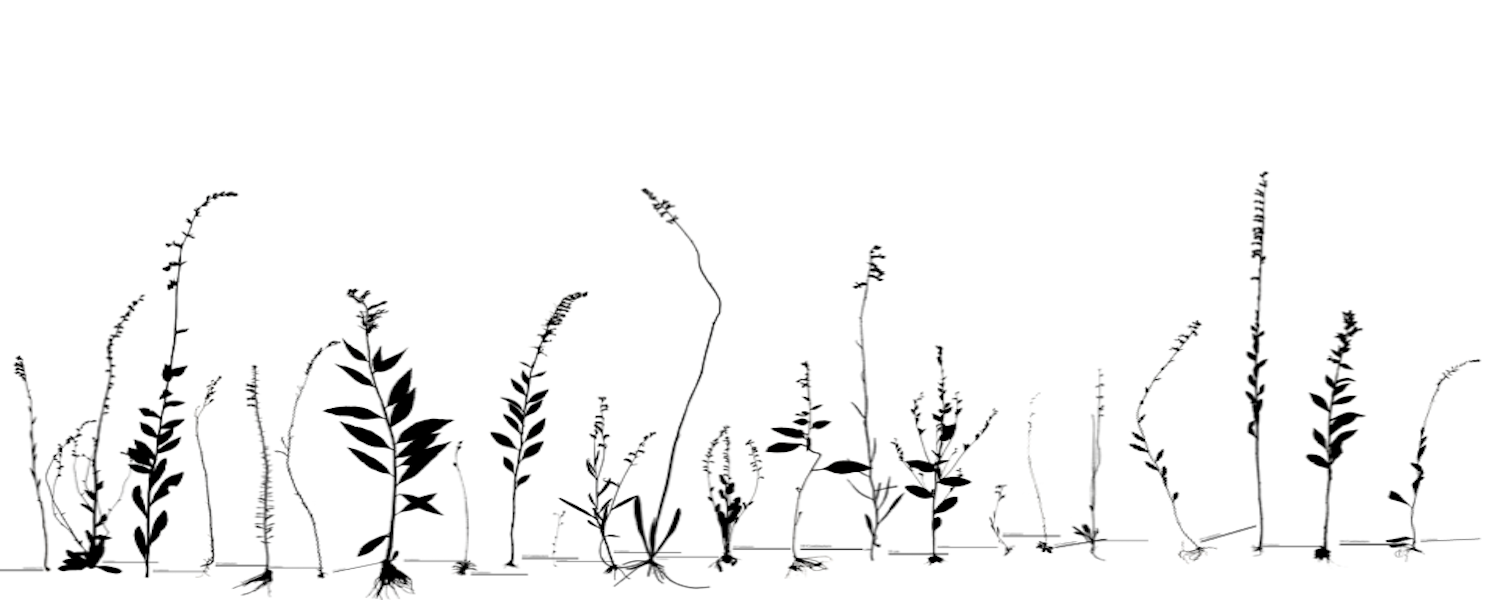 A black and white print of North American Lobelia species, made by Kent State student Jaret Arnold
