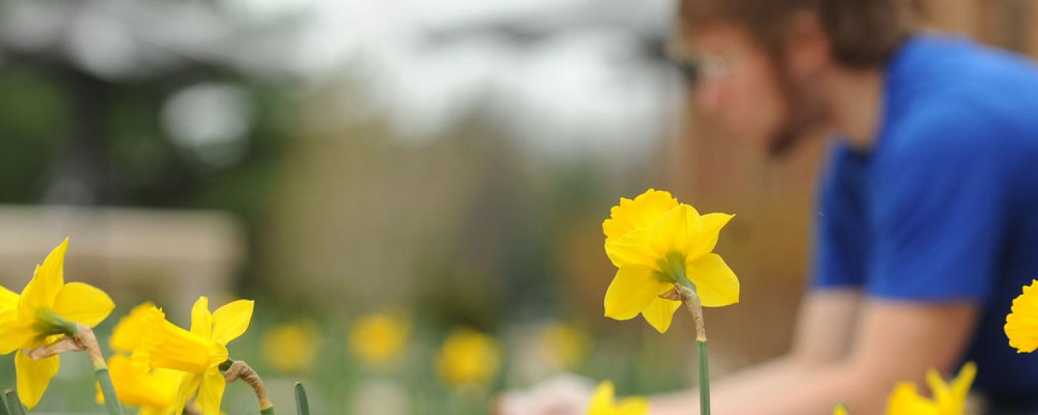 Student sits among daffodils outside Kent Student Center