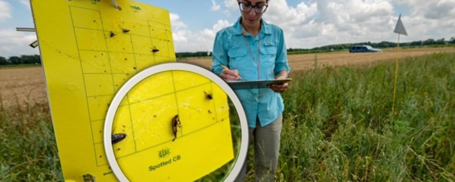 A researcher collects data from a yellow sticky card at the MSU KBS LTER site. Photo Credit: K. Stepnitz, Michigan State University.