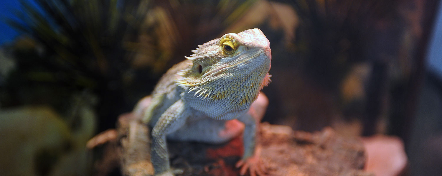 Hendrix, a bearded iguana, was on display for visitors in the geology wing of the Science and Nursing Building at Kent State Stark.
